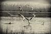 ballet aérien (lignesbois) Tags: oiseaux mouette eau noiretblanc nb blackwhite bw pentax k3ii sigma70300f456apodgmacro pentaxlifebw
