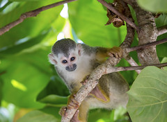Manuel Antonio, Costa Rica (richardjack57) Tags: manuelantoniocostarica costarica centralamerica travelphotography travel monkey nature animal squirrelmonkey canoneos6d canon canonzoom70200mmf28isllusm