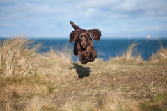 @milo.and.bear (målmal) Tags: miloandbear bear chocolate cockerspaniel puppy spaniel dog dogs beach