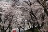 津久井の桜 その3