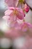 Early cherry blossoms in Shukkeien garden,Hiroshima city 2018/03 No.3. (HIDE@Verdad) Tags: pentaxistds lzosindustar61lzmc50mmf28 industar61 pentax istds