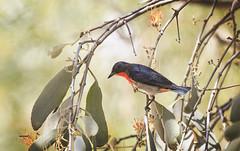 mistletoebird in the mistletoe (Fat Burns ☮) Tags: mistletoebird dicaeumhirundinaceum smallbird bird australianbird fauna australianfauna nature outback outdoors nikond500 sigma150600mmf563dgoshsmsports lagooncreek barcaldine queensland australia
