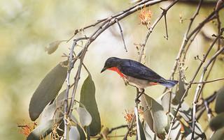 mistletoebird in the mistletoe