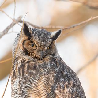 ''Golden hour!'' Grand-duc d'Amérique-Great horned owl