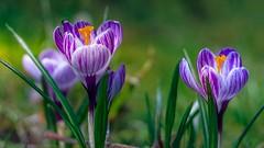 Crocus - 4808 (YᗩSᗰIᘉᗴ HᗴᘉS +15 000 000 thx) Tags: crocus flora 7dwf flower nature hensyasmine namur belgium europa aaa namuroise look photo friends be wow yasminehens interest intersting eu fr greatphotographers lanamuroise