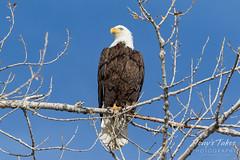Regal Bald Eagle keeping watch