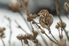 winter birds (rian.krenzer) Tags: animal bird bokeh closeup detailed winter