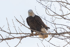 Bald Eagle rearranges on its perch