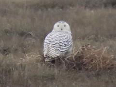 Snowy owl, 1st.-winter female (marksargeant57) Tags: canonpowershotsx60hs lincolnshire bird marsh saltmarsh owl nycteascandiaca snowyowl