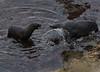 Dominance, (Arctocephalus forsteri) (CGDana) Tags: seal furseal new zealand mammal marine ocean southisland dunedin otego arctocephalusforsteri kekeno wild nature outdoors natural canon 7d