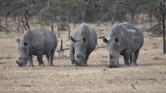 White Rhinos (featherweight2009) Tags: whiterhinoceros ceratotheriumsimum rhinoceroses rhinos squarelippedrhinoceros mammals africa