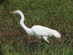 Great Egret (Ardea alba) (Gerald (Wayne) Prout) Tags: greategret ardeaalba animalia aves chordata pelecaniformes ardeidae alba circlebbarreserve cityoflakeland bananacreekmarsh polkcounty florida usa prout geraldwayneprout canon canonpowershotsx60hs powershot sx60 hs digital camera photographed photography birds great egret wadingbirds animals wildlife nature circleb bar reserve conservation preservation bananacreek marsh city lakeland polk county stateofflorida