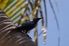 Asian Glossy Starling (Philippine Travelclub) Tags: asien asiatin philippinen filipina sommer sonne strand meer palmen reise urlaub reisebegleitung urlaubsbegleitung erotik erotic sexy bikini girls girl frauen manila cebu bohol boracay panglao alona beach tauchen taucher boot models photomodels fotomodelle posing fashion portrait philippines travel agency rundreise photo safari outdoor tier vogel natur nature wildlife birds bird asian starling