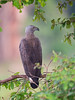 Sri Lanka '17_0094 (Jimmy Vangenechten 76) Tags: geo:lat=833336816 geo:lon=8013026140 geotagged greyheadedfisheagle srilanka ceylon asia azië indianocean indische oceaanwildlifeanimalbirddiervogelwilpattu national parkgreyheaded fish eaglehaliaeetus ichthyaetusgrote rivierarend