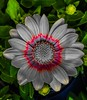 Yellow Osteospermum with pop color red, green variation (mohuski) Tags: natureplus popcolorredgreenvariation yellowosteospermum flower