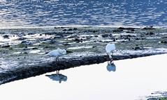 Cisne-_DSC1871 (peruchojr) Tags: cisne puertodearcade peirado aves arcade galicia