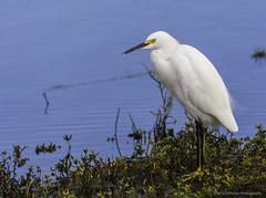 Snowy Egret Portrait (PrettyCranium) Tags: bird birds animal animals nature wildlife heron snowy egret san diego water