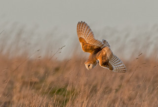 DSC0644  Barn Owl...