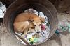 Un pauvre chien ..Poor Dog..Varanasi.!! (geolis06) Tags: geolis06 asia asie inde india uttarpradesh varanasi benares inde2017 olympus street rue vache cow olympusm1240mmf28 olympuspenf dog chien poubelle bin banaras