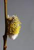 EF70-210 (24)a (SeppoU) Tags: kasvi plant kukka flower paju willow salix