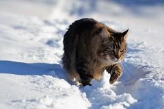 elvis på spasertur! (KvikneFoto) Tags: elvis katt cat vinter winter snø snow 2018 tamron nikon bokeh