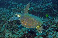 shelly (BarryFackler) Tags: honu seaturtle cheloniamydas reptile carapace hawaiiangreenseaturtle greenseaturtle turtle marinereptile cmydas honaunaubay honaunau westhawaii southkona barryfackler barronfackler bigisland biology bay being bigislanddiving konadiving kona konacoast vertebrate creature ecology coralreef reef coral hawaiidiving hawaiiisland hawaii hawaiicounty hawaiianislands sandwichislands tropical marineecosystem ocean diver island scuba seacreature sealifecamera sea sealife seawater saltwater water aquatic marine nature diving dive animal organism pacificocean undersea ecosystem fauna life outdoor polynesia underwater pacific marinebiology marineecology zoology