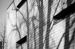 shadow tactics (chipsmitmayo) Tags: nikon f100 nikkor 85mm f14 kodak trix 400 film schwarzweiss blackandwhite labor kleinbild münster westfalen wand wall shadow schatten baum bäume trees fenster
