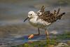 Kampfläufer (Ruff) (tzim76) Tags: kampfläufer philomachus pugnax ruff wildlife nature watvögel wasser waten outdoor birding israel