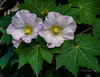 Native Hibiscus (idunbarreid) Tags: hibiscus