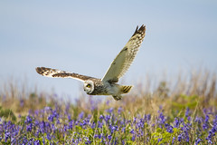 "Short Eared Owl (wayne.withers1970) Tags: small pretty bird wings fly flight flying color colorful nature natural colour colourful wild wildlife wales spring summer flickr dof bokeh country countryside outside outdoors alive fauna flora canon sigma light blur white brown green purple blue yellow sea coast feathers water fine flower flowers ""short eared owl"" ""bird prey"" owl hunting bluebells sky island skomer"