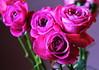DSC_9070 Pink Roses (PeaTJay) Tags: nikond750 sigma reading lowerearley berkshire macro micro closeups gardens indoors nature flora fauna plants flowers bouquet rose roses rosebuds