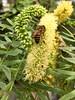 2018.04.07 - bee on acacia (JBYoder) Tags: acacia angiosperm apis apismellifera bee dicot fabaceae honeybee hymenoptera palmsprings california