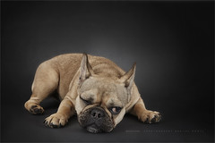 Oh well .... let me think (Marijke M2011) Tags: frenchbulldog dog dogportrait greydog friend hond hondenportret animal pet petportrait cute patience huisdier indoor studio studiolightning canoneos5dmarkii canon canonef2470mm128iiusm amsterdam thenetherlands mooywerk
