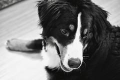 Koa (nicolarochelle) Tags: petportrait blackandwhite perro hund dogs bernesemountaindog