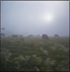 cows in the mist (steve-jack) Tags: hasselblad 501cm 150mm fuji reala 100 film 6x6 120 tetenal c41 kit epson v500