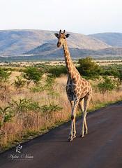 A Giraffe on the Road (Sylvie Nenan) Tags: giraffe southafrica landscape paysage safari animal wild
