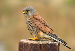 The Kestrel (falco)