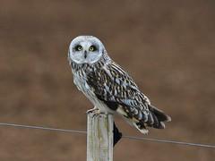 Short-eared owl 58 (brandugla) (Svenni and his Icelandic birds.) Tags: shortearedowl brandugla asioflammeus