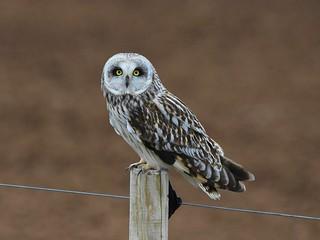 Short-eared owl 58 (brandugla)