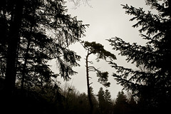 Pin, Parasol (Steph Blin) Tags: arbres trees silhouettes nature ombreschinoises backlight forest forêt woods bois pin parasol sapins résineux forez massifcentral auvergne boisnoirs 63 france paysage firs pinetree