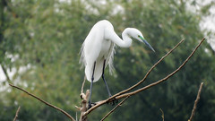 Eastern Great Egret (Birdwatcher18) Tags: egret birds waterbird trees birding birder nature birdonbranch