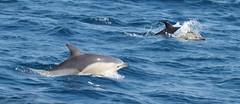 All Common Dolphins make you smile (lifeonnosense) Tags: dolphins commondolphins atlanticocean sail earthtrecker mammals sealife makesmesmile nationalgeographicworldwide