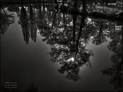 Arboles reflejados/ Reflected trees (Jose Antonio. 62) Tags: reflection reflejo bw blancoynegro blackandwhite trees arboles
