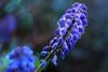 Blues, drops and bokeh,... (Wim van Bezouw) Tags: sony ilce7m2 flower nature bokeh drops dew spring