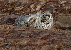 Pacific Harbor seal (Phoca vitulina) on log boom (CGDana) Tags: marine washington everett canon 7d mkii harbor mammal seal