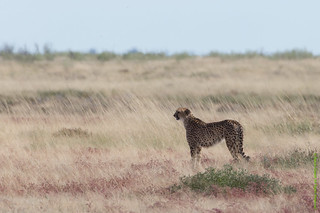 Cheetah with two cubs-0263