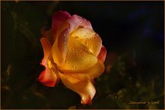 Una Rosa per te...... (leon.calmo) Tags: leoncalmo canon eos5d fiori giardino rosa luce gocce