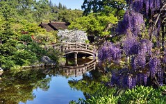 Spring is here in full bloom (PeterThoeny) Tags: saratoga california siliconvalley sanfranciscobay sanfranciscobayarea southbay hakonegardens japanesegarden garden park flower wisteria bloom tree bridge woodbridge arch archbridge pond reflection water waterreflection wave ripples morning day sony sonya7 a7 a7ii a7mii alpha7mii ilce7m2 fullframe 1xp raw photomatix hdr qualityhdr qualityhdrphotography vintagelens dreamlens canon50mmf095 canon fav200
