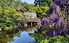 Spring is here in full bloom (PeterThoeny) Tags: saratoga california siliconvalley sanfranciscobay sanfranciscobayarea southbay hakonegardens japanesegarden garden park flower wisteria bloom tree bridge woodbridge arch archbridge pond reflection water waterreflection wave ripples morning day sony sonya7 a7 a7ii a7mii alpha7mii ilce7m2 fullframe 1xp raw photomatix hdr qualityhdr qualityhdrphotography vintagelens dreamlens canon50mmf095 canon fav100