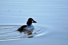 Common Goldeneye (steve_scordino) Tags: bird anchorage alaska commongoldeneye